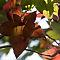 Mapple leaf